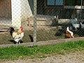 Hühnerhaltung - panoramio (2).jpg