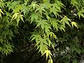H20140331-1203—Acer palmatum—UCBG (13593305783).jpg