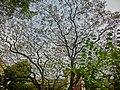 HK 油麻地 Yau Ma Tei 九龍華仁書院 Kowloon Wah Yan College back door campus garden Jan-2014 tree crown.JPG