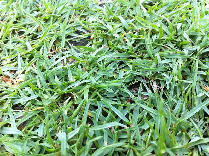 File:HK 香港 中山紀念公園 Sun Yat Sen Memorial Park 草皮 06 Lawn grass May-2012.jpg