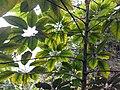 HK PK 香港登高 hiking 山頂 Victoria Peak 舊山頂道 Old Peak Road green leaves sky April 2020 SS2 07.jpg