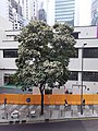 HK Queen's Road tree at 中環街市 Central Market building April 2021 SS2 01.jpg