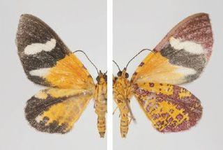 <i>Hagnagora croceitincta</i> species of insect