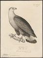 Haliaeëtus macei - 1700-1880 - Print - Iconographia Zoologica - Special Collections University of Amsterdam - UBA01 IZ18100331.tif