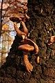 Hallimasche (Armillaria) 02 (22892771206).jpg