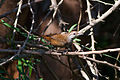 Happy Wren (Pheugopedius felix) (8079387572).jpg