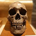 Harappan skull (cropped).jpg