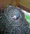 Hausrotschwanz Brutpflege 2006-05-01a.jpg