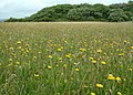Hay meadow, Durlston Country Park - geograph.org.uk - 852046.jpg