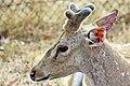 Head of Sri Lankan axis deer.jpg