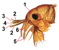 Head of the Flea (Lens Aldous) tagged.png