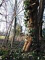 Hedera Helix Robinia Rhine Valley FRG 01.jpg