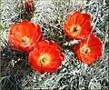 Hedgehog Cactus Flowers, JTNP 4-13-13a (8690228798).jpg