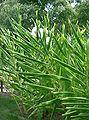 Hedychium cv1.jpg
