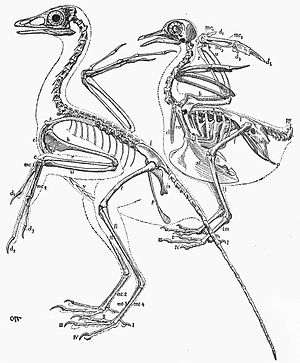 The Origin of Birds - Heilmann's comparative illustration of the skeletal anatomy of Archaeopteryx and a modern pigeon