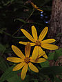 Helianthus divaricatus - Woodland Sunflower.jpg