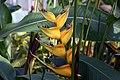Heliconia Island Yellow 1zz.jpg