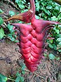 Heliconia mariae, the Firecracker Heliconia (9709353075).jpg