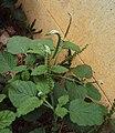 Heliotropium indicum 04.JPG
