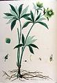 Helleborus viridis — Flora Batava — Volume v10.jpg