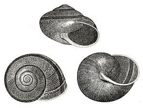 Helminthoglypta tudiculata (I. Lea, 1838)
