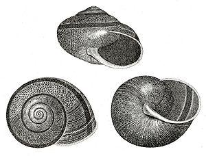 Helminthoglyptidae - Image: Helmnthglypt Tudiclt Ex Bnny 16