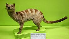 Hemigalus derbyanus - Museo Civico di Storia Naturale Giacomo Doria - Genoa, Italy - DSC02708.JPG