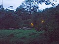 Herd of Borneo Elephants outside Tabin Wildlife Resort (15026239085).jpg
