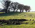 Herd of deer grazing in the evening sun - geograph.org.uk - 732950.jpg
