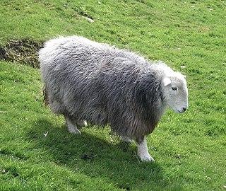 Herdwick Breed of sheep