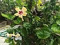 Hibiscus7.jpg
