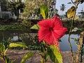 Hibiscus rosa-sinensis 28.jpg