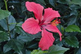 Hibiscus rosa-sinensis flower in private Austrian garden on 2016-03-20.png