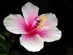 Hibiscus rosa-sinensis white-pink.jpg
