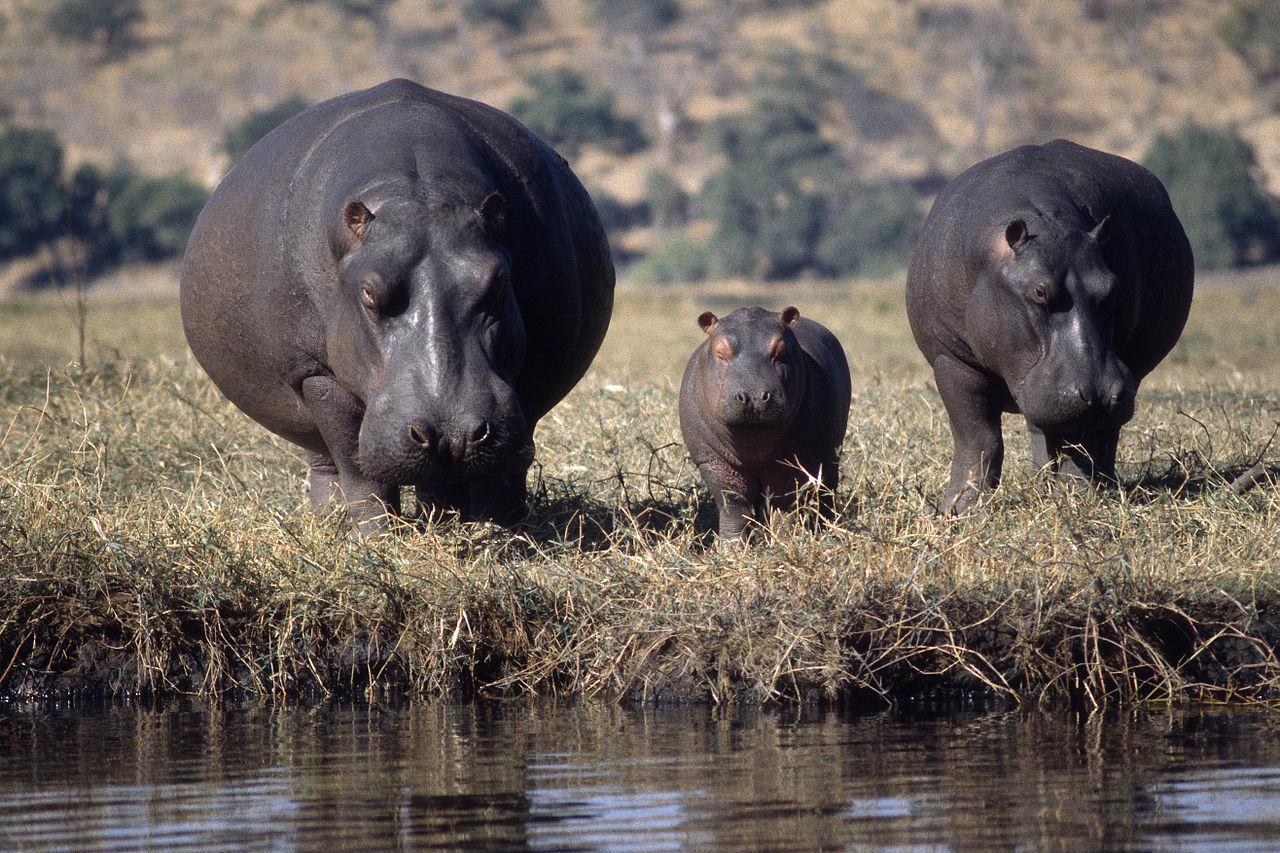 K Lite Hippo File File:Hippo family-01.J...