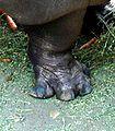 Hippopotamus-foot.jpg
