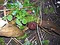 Hirneola auricula-judae PL2.jpg