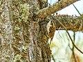 Hodgson's Treecreeper (Certhia hodgsoni) (38741827515).jpg