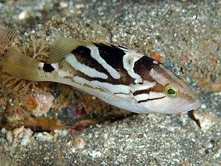 Comet grouper species of fish