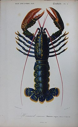 Homarus gammarus - Illustration.jpg