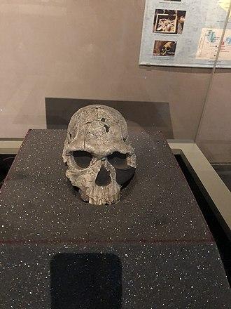 Homo habilis - Homo habilis KNM ER 1813 not a cast