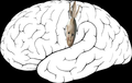 Homunculus sensory.png