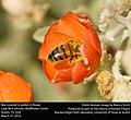 Honey bee (Apis mellifera) in flower (25928090920).jpg