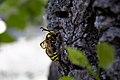 Hornet Moth - Side View.jpg