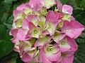 Hortenzie velkolistá růžová.JPG