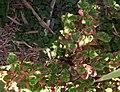 Houttuynia cordata Chameleon.jpg