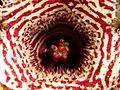 Huernia flower 01.jpg