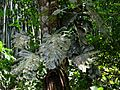 Huge Monstera - Flickr - treegrow.jpg