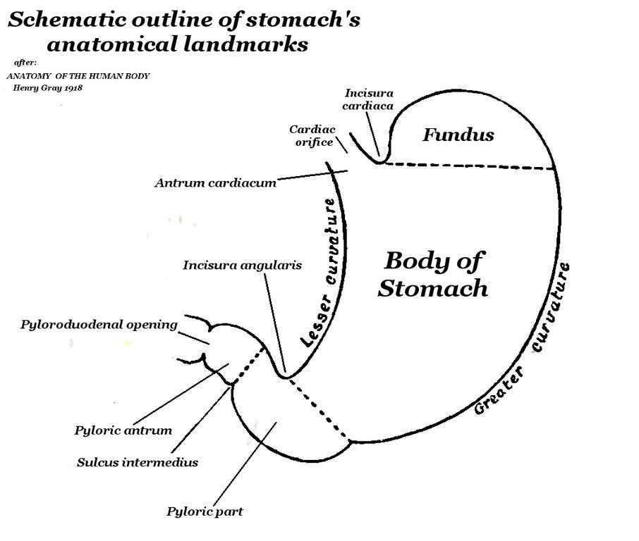 Filehuman Stomach Schematic External Anatomyg Wikimedia Commons