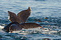 Humpback whales in Monterey Bay.jpg